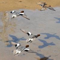 ヒドリガモの飛翔です、三筋川