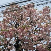 今日 近くの桜