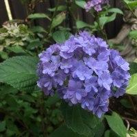 天使と紫陽花