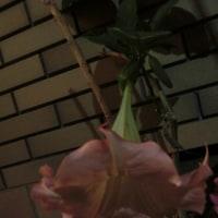 咲いたよ~ 植えたよ~