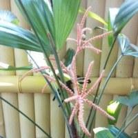 観音竹の花が咲きました
