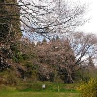 今朝の宮澤桜