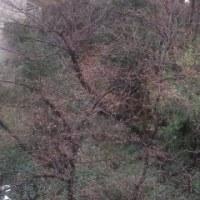 近所の桜のつぼみ