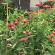 三日坊主脱出、向日葵と百日草