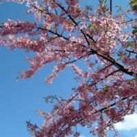 神奈川で早咲きの桜を楽しむ -松田山ハーブガーデン