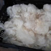 原毛を洗う。