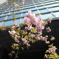 街中で、河津桜を見かけました♪