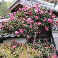山茶花咲き盛り