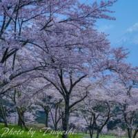 笠富士と桜