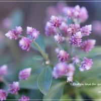 去年のアルテルナンテラ若紫  。。。