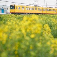 黄色い花と北勢線