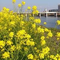 綱島地区で菜の花まつり