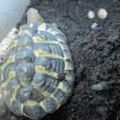 別のニシヘルマンリクガメの孵化仔が産卵