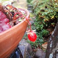 イチゴが一粒!