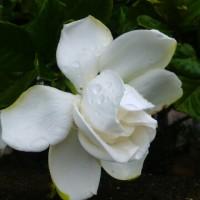 通勤路の花たち クチナシ、サボテン