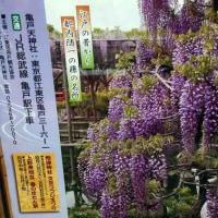 亀戸天神 藤まつり 2017年 開花情報