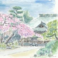 東漸寺、本土寺と清龍院(流山)の枝垂れ桜の様子見です  3/20