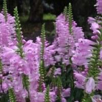 紫色の花穂をつけ茎の断面が四角 ハナトラノオ