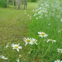 白い花、マーガレット、フランス菊