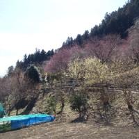下仁田 虻田 福寿草の里2017