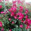 薔薇とハーモニカ演奏
