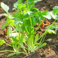五月の庭・・・ナスタチューム(金蓮花)を植えた・・・花として美しいが葉っぱがピリッと辛くて美味い