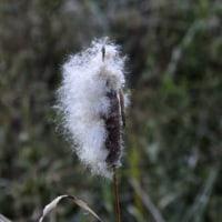 ガマの穂綿 ガマズミ