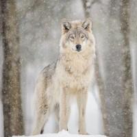 オオカミのメディスン