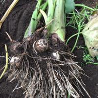 里芋とハヤト瓜を収穫
