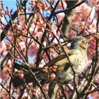 「満開の寒桜と目白と鵯」と「CP+2017」