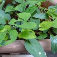 スミレの育て方5月 害虫対策  ヨトウムシによる食害