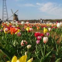 🌸遠山桜と、チューリップ祭り🌷