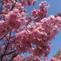 横浜緋桜が見頃となりました。