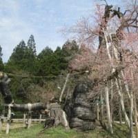 置賜の二大老桜樹に想う