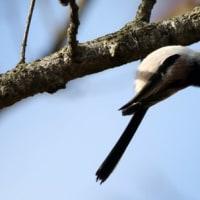 埼玉県坂戸市にある浅羽ビオトープでは、冬鳥のシメなどにも出会いました