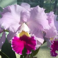 ◆C. Hawaiian Touch'Jurika'