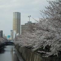 今年の桜は遅いね!例年なら凄い人出で賑わいますが!土曜は寒雨なので日曜~月曜日には花開くとか!