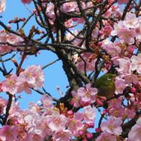 市ノ坪公園で河津桜とメジロ楽しんで、リバティーでお茶して、モン・レーヴで夕食、三人揃いの休日でした