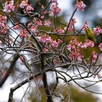 2017開運桜もやや見頃を過ぎ  2 《福津市宮地嶽神社》
