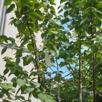花蘇芳とハンカチの木