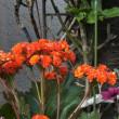 カランコエ Kalanchoe 八重咲き