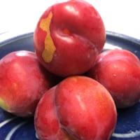 杏を収穫!