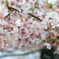 玉縄桜(たまなわさくら)
