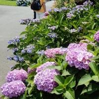 紫陽花を観に
