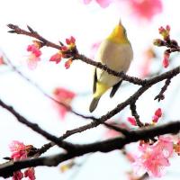 #桜前線2017 その3 桜にメジロ gif