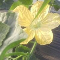 冬瓜に 花が 咲いた! 摘心の開始