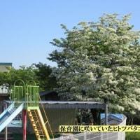 ヒトツバタゴ(別名 なんじゃもんじゃ) 妻木保育園   2017.05.19