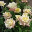 さわやか百合の花