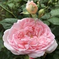 バラの花咲く