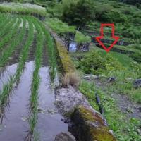 「棚田」の稲も順調に生育